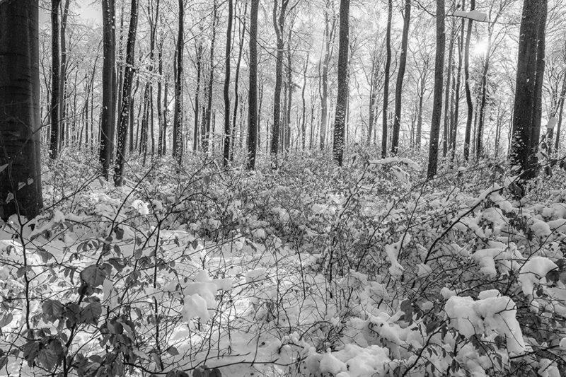Junge Buchen im Schnee